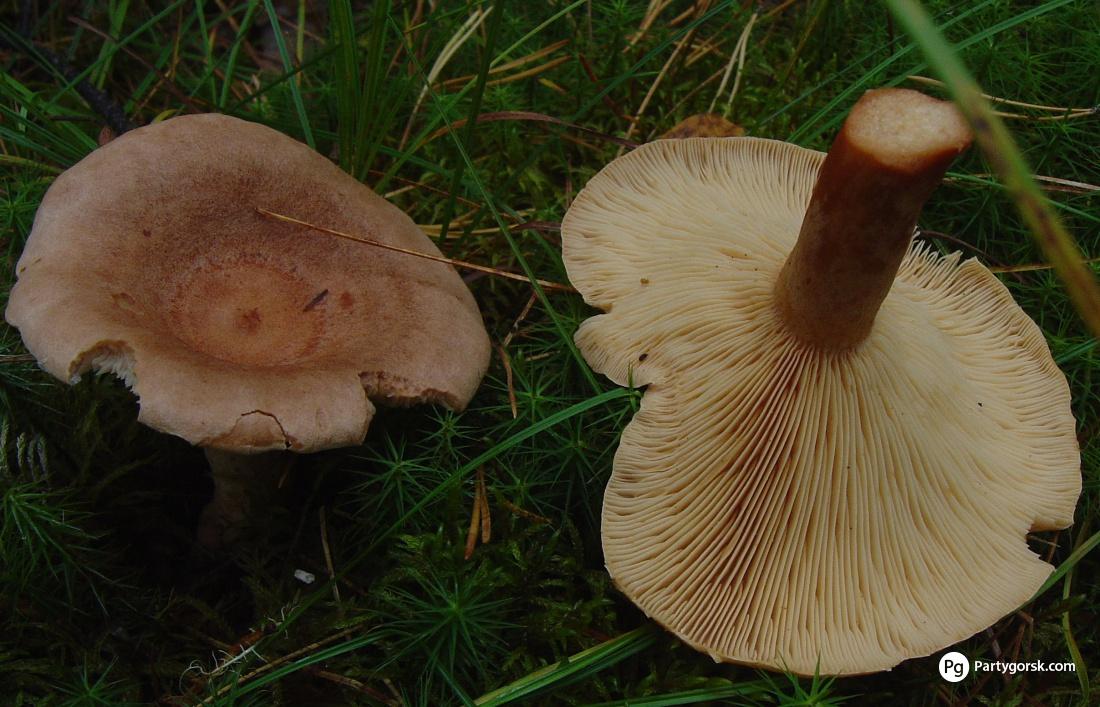 гриб млечник фото и описание приготовление